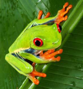 critters-Red-EyedTreefrog-2
